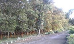 Hutan Akasia di Lahan Selatan Masjid Rahmatan Lil Alamain
