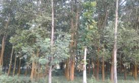 Pohon Akasia